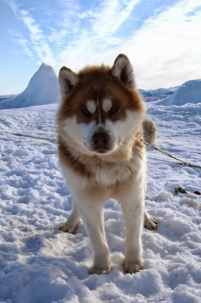 adults canadian inuit dogs