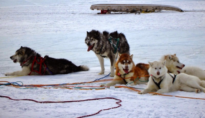 Adults | Canadian Inuit Dogs