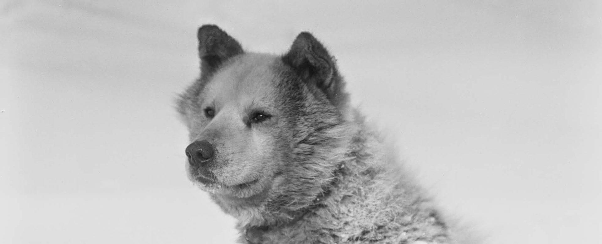 iniuit-dogs-61